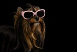 Yorkie With Pink Sun Glasses Against Black Background Print by  vitalytitov