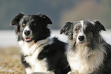 2 Border Collies Posters by  Andraz_Cerar