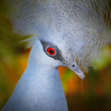 The Victoria Crowned Pigeon (Goura Victoria) Head Closeup With Shallow Dof Photo by  Kletr