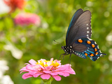 Green Swallowtail Butterfly Feeding On A Pink Zinnia In Sunny Summer Garden Photographic Print by Sari ONeal