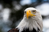 Eagle Photographic Print by  rihardzz