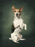 Jack Russell Posters by  Blueiris
