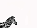 Zebra Isolated Photographic Print by  Donvanstaden