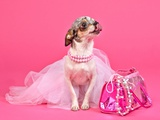 Tiny Glamour Dog With Pink Accessories Isolated Prints by  vitalytitov