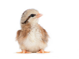 Light Brown Striped Easter Chick On White Prints by Sari ONeal