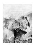 Lions Prints by  Donvanstaden