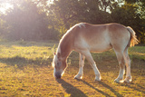 Beautiful Belgian Draft Horse Grazing In Morning Sun Print by Sari ONeal