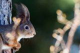 The Red Squirrel (Sciurus Vulgaris) In Profile Prints by  Tobyphotos
