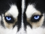 Close Up On Blue Eyes Of A Dog Photographic Print by  melis