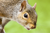 Squirrel Close Up Photo by  rekemp