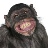Close-Up Of Mixed-Breed Monkey Between Chimpanzee And Bonobo Smiling, 8 Years Old Reprodukcja zdjęcia autor Life on White