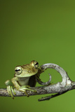 Tree Frog Golden Color Rainforest Amphibian On Branch Background Copy Space Prints by  kikkerdirk