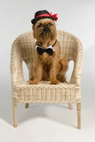 Dog Dressed As A Groom Sits On Wicker Armchair Prints by  vitalytitov
