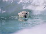 Polar Bear Photographic Print by  outdoorsman