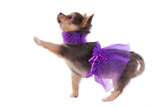 Funny Dressed Chihuahua Marching With A Paw Up, Isolated Prints by  vitalytitov