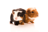 Baby Guinea Pigs Print by  joannawnuk