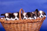 Five Papillon Puppies Photographic Print by Marina Jay