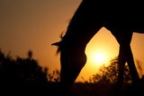 Grazing Horse Silhouette Against Rising Sun In Rich Tone Posters by Sari ONeal