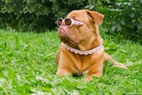 Serious Dog Of Dogue De Bordeaux Breed Wearing Pink Glasses And Collar, Lying In The Summer Garden Photo by  vitalytitov