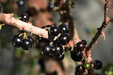 Jaboticaba Photo by  Booba123