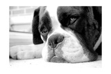 Sad Boxer Dog Poster by  miketea88