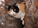 Beautiful Calico Cat Peeking Through Two Tree Trunks Poster by Sari ONeal