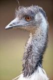 Ostrich Photographic Print by  l i g h t p o e t