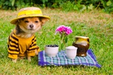 Small Dog Wearing Yellow Suit And Straw Hat Relaxing In Meadow Photo by  vitalytitov