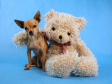A Teddy Bear With His Arm Around A Tiny Chihuahua Photographic Print by  graphicphoto