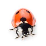 Ladybug Print by  Valengilda