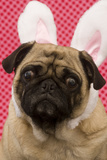 Easter Bunny Pug Photo by  dosecreative