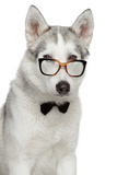 Siberian Husky Dog In Bow Tie And Glasses On White Background Print by  Jagodka