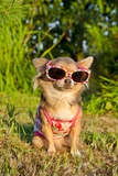 Chihuahua Wearing Sunglasses And T-Shirt In The Park Prints by  vitalytitov