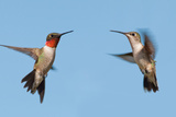 Two Ruby-Throated Hummingbirds, A Male And Female, Flying With A Blue Sky Background Posters by Sari ONeal