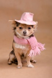 Chihuahua Puppy Dressed As Detective - With Pink Hat And Scarf Posters by  vitalytitov