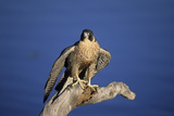 Falcon Photographic Print by  outdoorsman