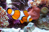 Clown Fish Photographic Print by val lawless