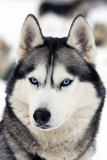 Husky Portrait Prints by  melis