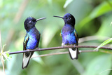 Velvet-Purple Coronet Hummingbird Photographic Print by  duelune