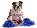 Cheerful Dog - English Bulldog Dressed Up Like A Cheerleader With Pompoms Photographic Print by Willee Cole