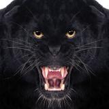 Black Leopard Fotografisk trykk av Andrew Blue