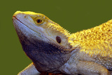 Lizard Photographic Print by  yuran-78