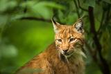 Eurasian Lynx (Lynx Lynx) Posters by  l i g h t p o e t
