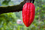 Cocoa Pod Red Prints by blacqbook