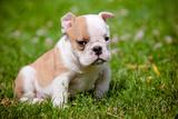 English Bulldog Puppy Photographic Print by  ots-photo