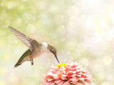 Dreamy Image Of A Ruby-Throated Hummingbird Feeding On A Pink Zinnia Photographic Print by Sari ONeal