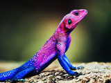 The Mwanza Flat-Headed Agama On Rock. Serengeti, Tanzania In Africa Posters by PHOTOCREO Michal Bednarek