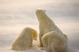 Polar Bear With Her Cubs Photographic Print by  outdoorsman