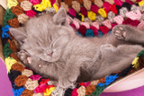 British Kitten Rare Color (Lilac) Sleeping Photographic Print by  Lilun
