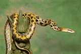 Taiwan Beauty Rat Snake On Green Backdrop Photographic Print by  Blueiris